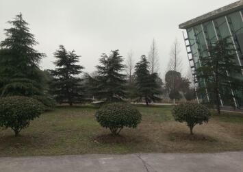 雪松苗木区